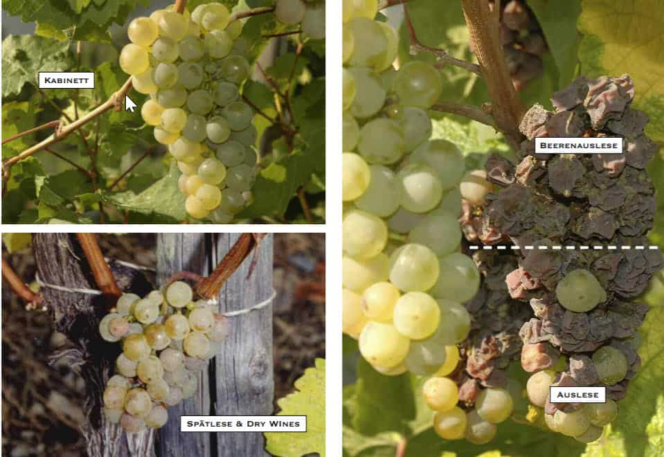 riesling grape in different stages