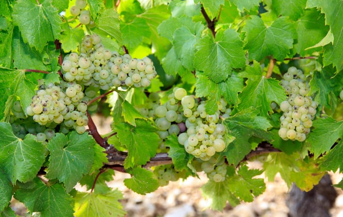 chablis grapes on the vine in France