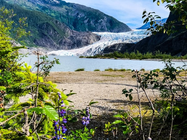 View of Mendenhall Glacier with purple flowers in the foreground.