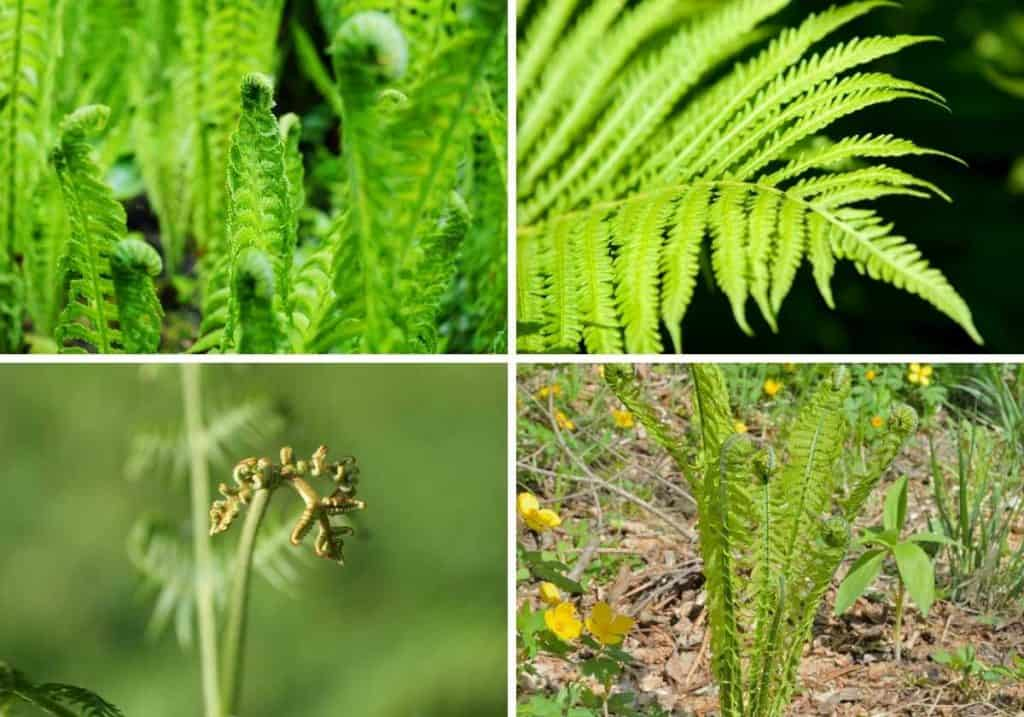 4 pictures of fiddlehead ferns aka fernbrake in the wild