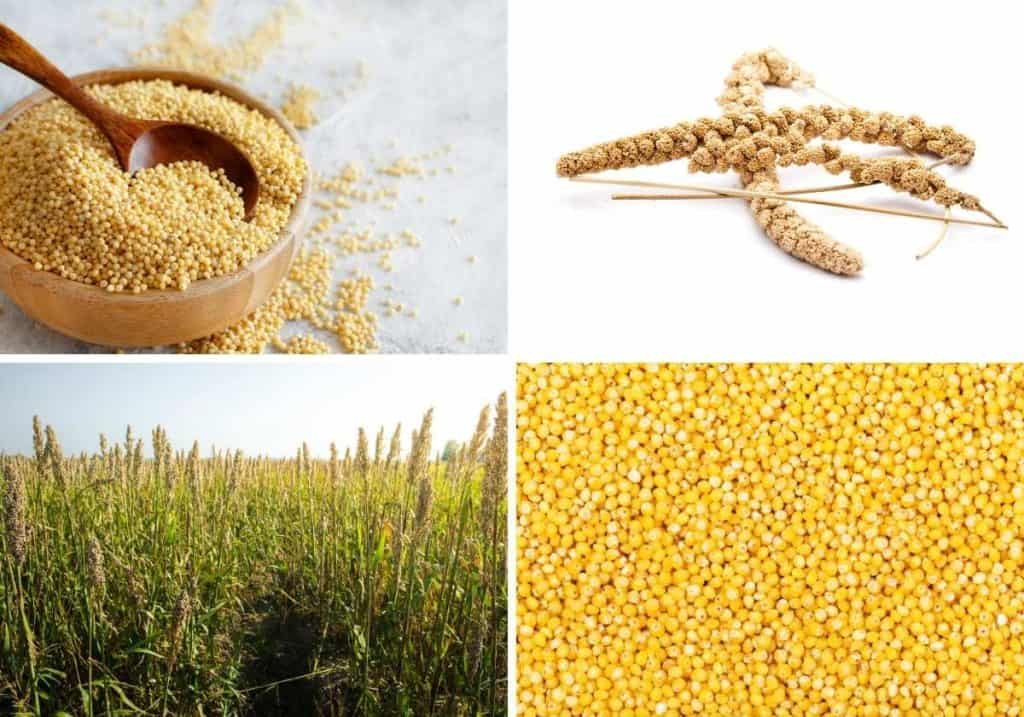 4 pictures showing the millet seed and plant